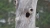 Kuusitiainen pesäpuussa.